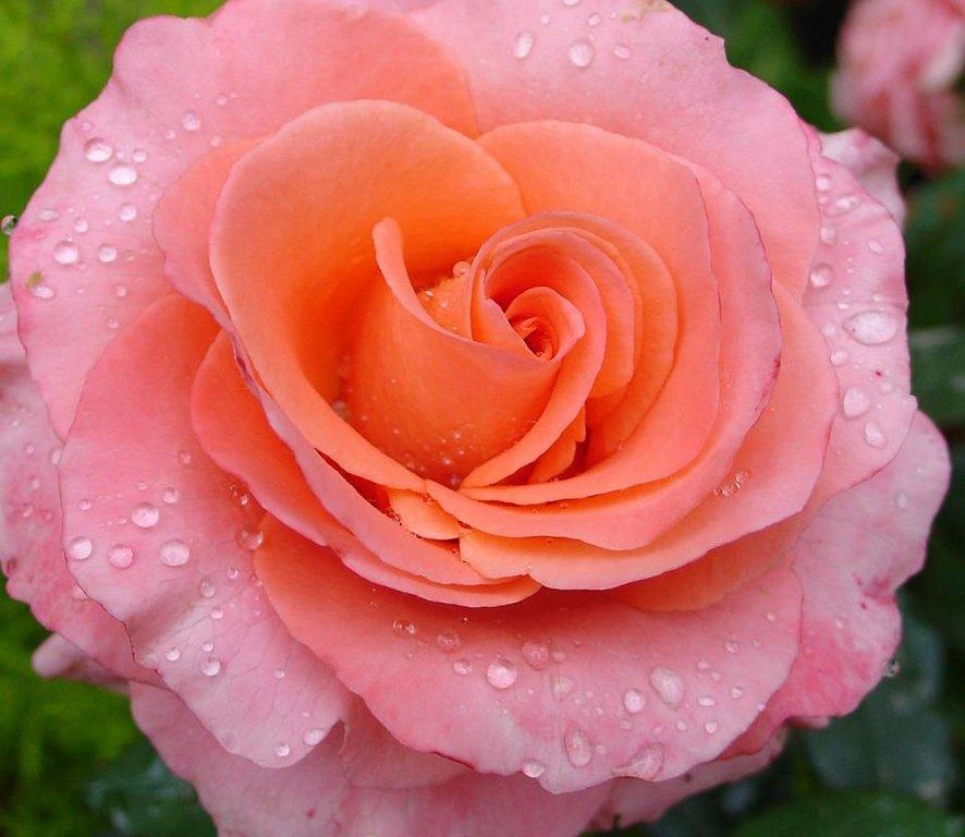30 im genes bonitas de flores hermosas para apreciar y - Rosas rosas hermosas ...