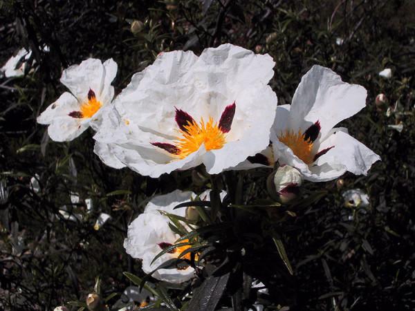 flores 26